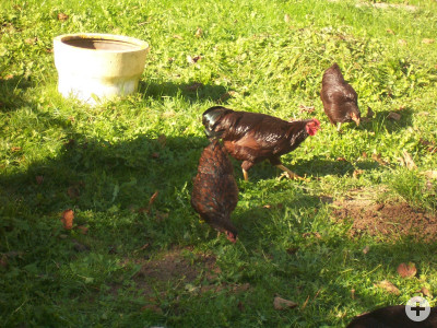 Zwerg-Hühner