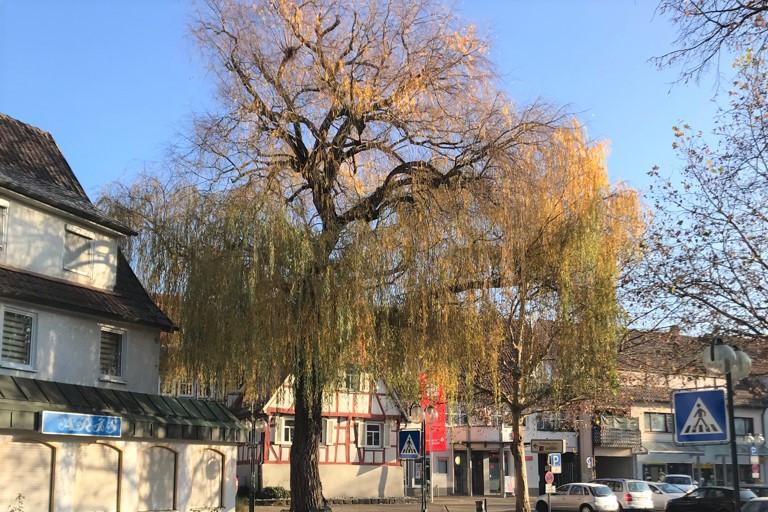Trauerweide auf dem Marktplatz Beutelsbach